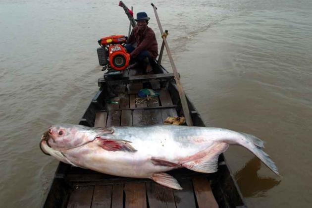 Mekong giant catfish, other species threatened by