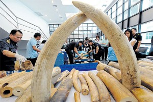 Confiscated elephant tusks are displayed during a press conference at the customs office of Suvarnabhumi airport in Bangkok.