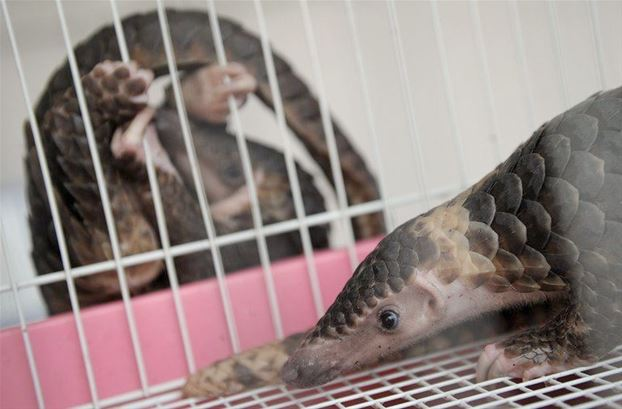 The pangolins were on their way to Laos and then finally China
