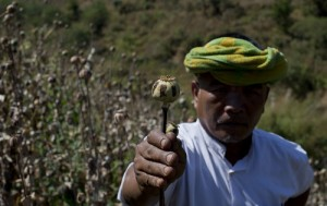 ethnic Pa-O poppy farmer holds a harvested poppy stem with dried-up opium sap in a poppy cultivation in central Shan state, Myanmar.