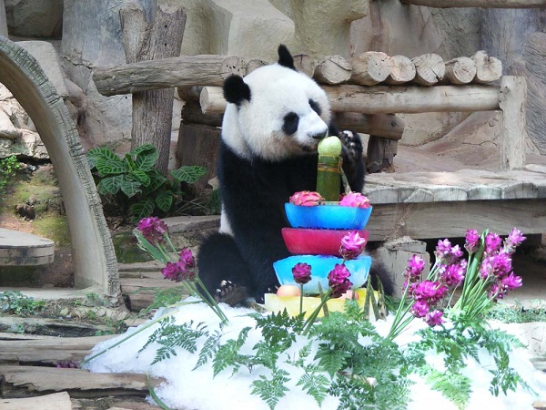 Lin Ping was born to Chuang Chuang and Lin Hui, two pandas which were loaned from China on a ten-year contract in 2003.