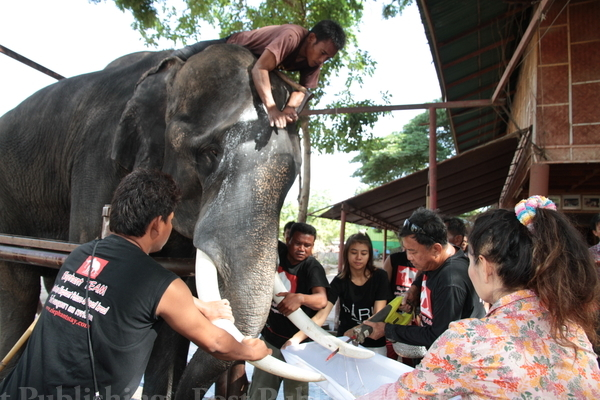 A ritual is performed at Lae Paniad Elephant Kraal in Ayutthaya province on Monday to saw off the ends of Plai Big's tusks and free him from the spirit of Orn-uma Leksathan, who was stomped to death on Saturday and her husband gored trying to save her