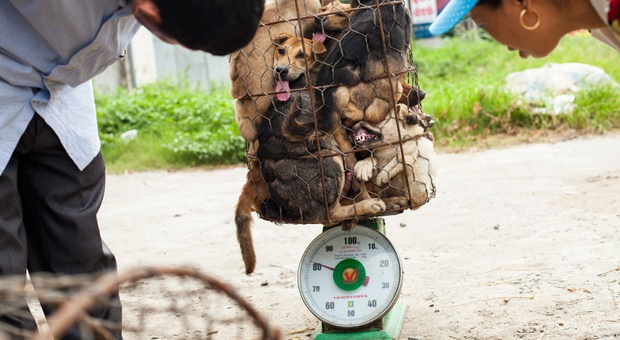 Thai authorities are struggling to stop an estimated 200,000 dogs every year being exported alive in this international racket.