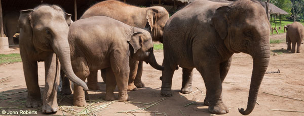 Asian elephants in Thailand are of particular concern, with approximately 1,500 left in captivity, and 2,000 remaining in the wild in Thailand.
