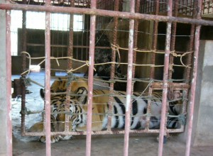 This shows the size of the cages that tigers spend almost all of their time in