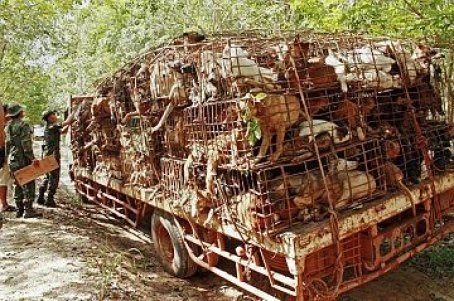 Thai soldiers (L) inspect a vehicle carrying dogs in cages in Bueng Kan province near the Thai-Laos border on May 6, 2013. Hundreds of dogs crammed into cages have been seized in less than a week in Thailand's northeast border regions