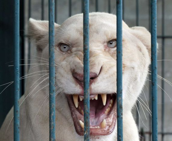 A lioness bares its teeth inside an enclosure after a raid at a zoo-like house on the outskirts of Bangkok Read more: http://www.stamfordadvocate.com/news/science/article/Police-arrest-Thai-pet-shop-owner-with-rare-lions-4590649.php#ixzz2VoynVsSx