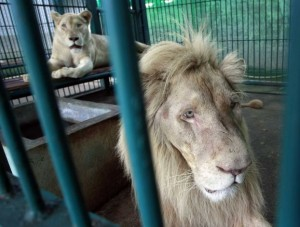 Thai police and forestry officials searched and seized a number of imported and endangered animals including 14 lions from Africa and arrested the house's owner.