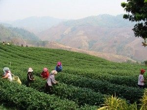 The first tea tree was brought to Doi Mae Salong from Taiwan 40 years ago.