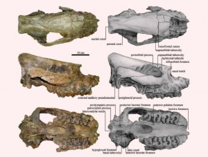 Skull of Aceratherium porpani: dorsal, lateral and ventral view (Tao Deng et al) Skull of Aceratherium porpani: dorsal, lateral and ventral view (Tao Deng et al)
