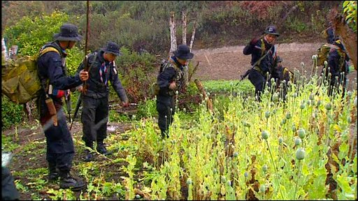 A team of police destroy a poppy field in Chiang Rai Province