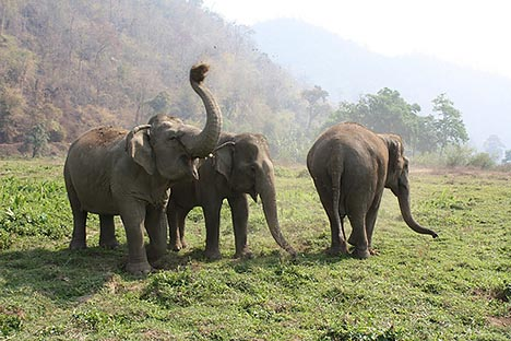 Currently, some 3,500 elephants reportedly live in 68 protected forests