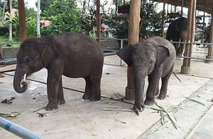Two young elephants seized by Royal Thai Police during a crackdown on the live elephant trade in Thailand