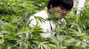 """""""The quality and reputation of the Canadian cannabis is such that it could be worth the trouble and cost of importing,"""""""