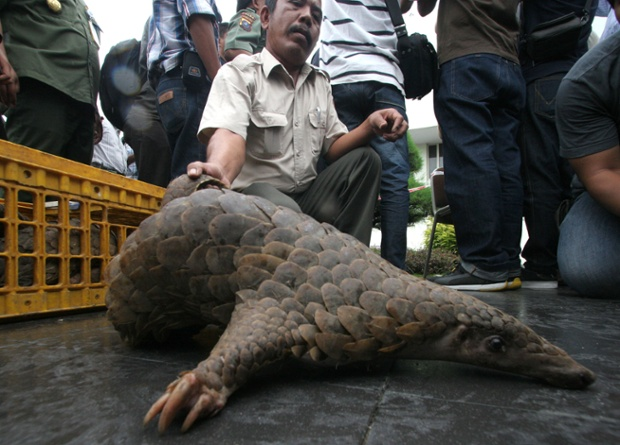 The two allegedly confessed to buying the pangolins for 5,000 baht each in Malaysia