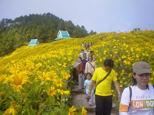 The Bua Thong Fair is by far the biggest attraction of Mae Hong Son. It starts in November and lasts until December, the sunflowers blossom and carpet the surrounding countryside for miles in each direction.