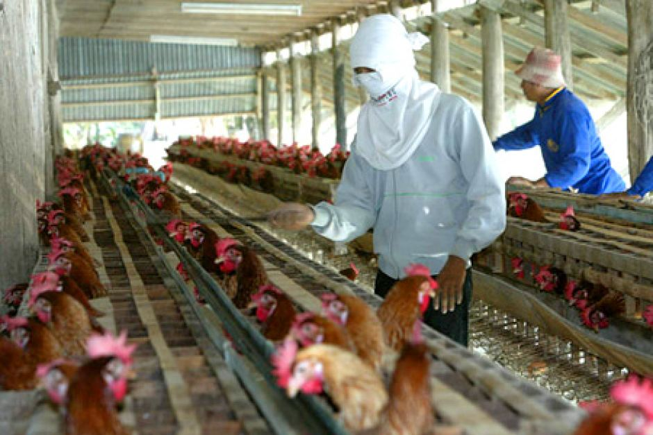 Employees inspect chickens for bird flu at a poultry farm in Thailand