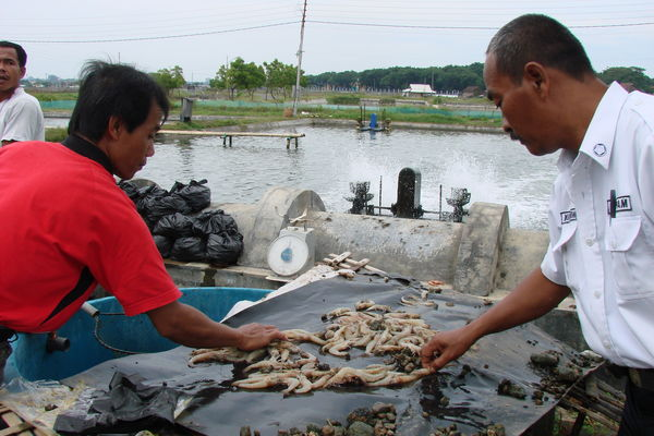 The unpatented discovery will help Thai and international shrimp farmers curb the disease outbreaks