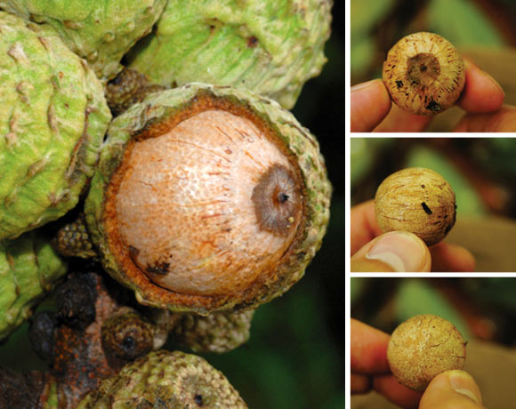 Lithocarpus orbicarpus. Left: young acorn, opened up to show dotted pattern of small depressions and surface structure of the umbo. Right: fresh fruit – top, side and bottom view. Image credit: S. Sirimongkol / J. S. Strijk.
