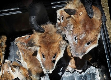 It is illegal to kill canines to sell their parts in Thailand or abroad.