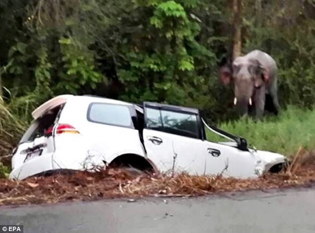 An elephant walks past a vehicle after it crashed into it at a roadside in Rayong province, east of Bangkok Read more: http://www.dailymail.co.uk/news/article-2579092/Six-people-ELEPHANT-killed-three-car-pile-Thailand.html#ixzz2vkdVsbdm Follow us: @MailOnline on Twitter | DailyMail on Facebook