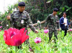 Drug Suppression  authorities and soldiers of the 3rd army have eradicated more than 1,600 rai of opium poppy farmlands in the North of Thailand over the past year