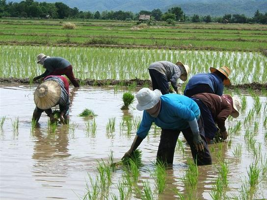 3.7 million rice-growing families could subscribe to the fund, that would be similar to the Social Security Fund. Please credit and share this article with others using this link:http://www.bangkokpost.com/most-recent/421950/pension-plan-for-rice-farmers. View our policies at http://goo.gl/9HgTd and http://goo.gl/ou6Ip. © Post Publishing PCL. All rights reserved.