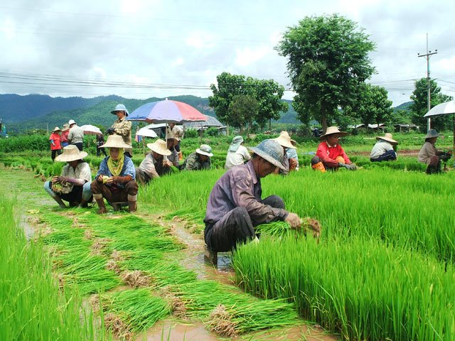 rice_cultivation16