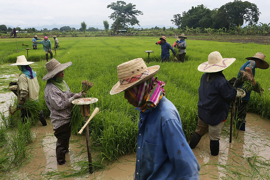 Men and women harvest rice in Ban San Ka Wan, Thailand. Since taking power in a coup in May, the ruling National Council for Peace and Order has been repaying farmers money owed after a government-run effort to control rice markets failed.
