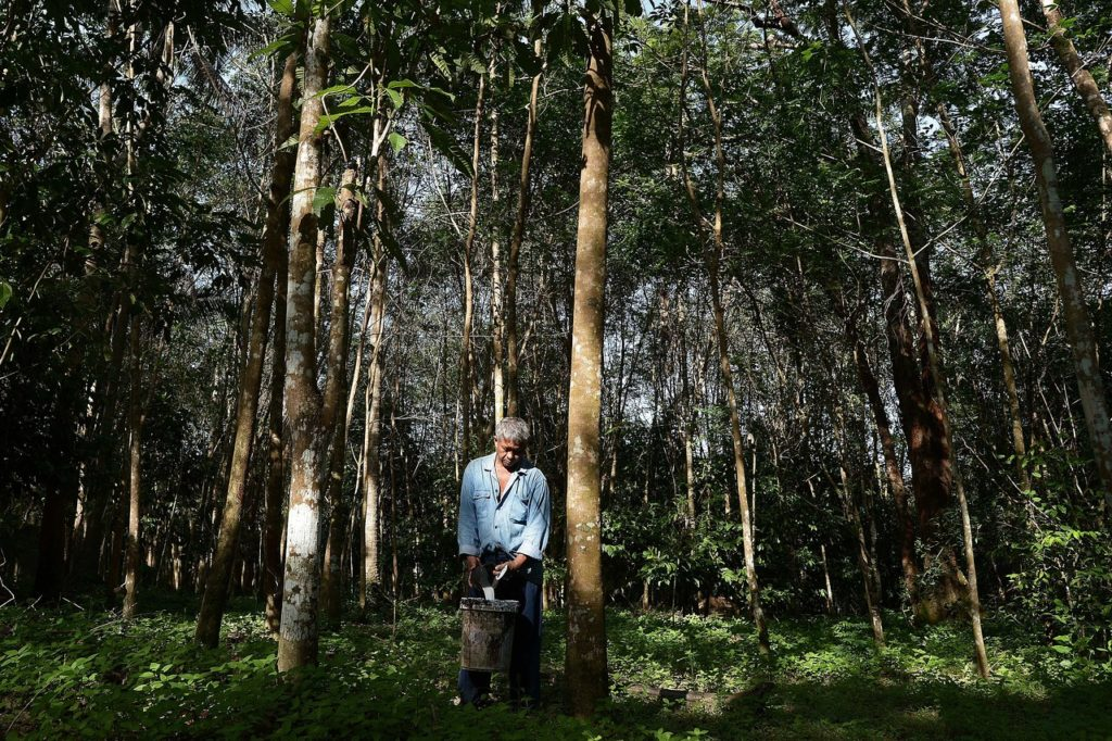 A farmer collecting the white liquid sap of rubber trees a few hours after the trees were bled
