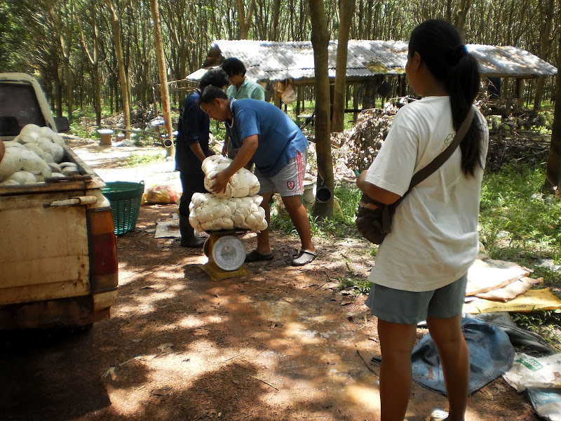 Weighing Rubber before sale in Chiang Rai Province