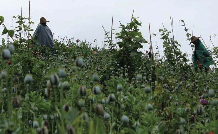 Farmers tend to an opium crop in southern Shan State.