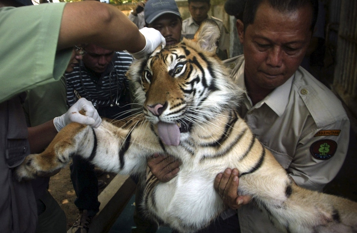 Officers of Natural Resources Conservation Agency (BKSDA) of the forestry ministry carry a tranquilized tiger