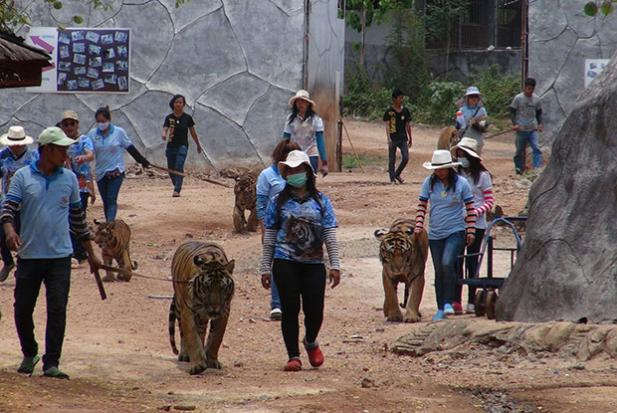 Wildlife officials  begin removing tigers from scandal-tainted temple