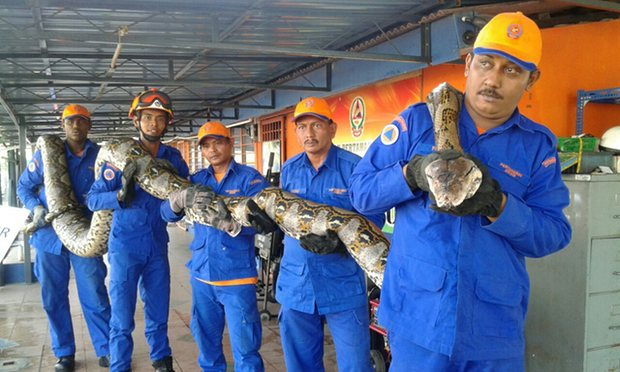 Members of Malaysia's Civil Defence Force hold a python believed to be 8 metres long and found on Penang island
