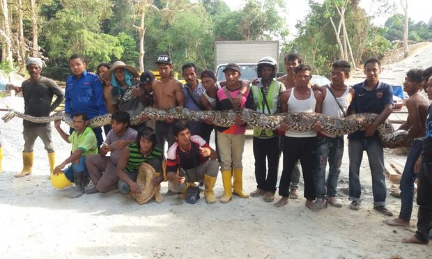 Workers hold a python believed to be 8 metres long and found on Penang island.