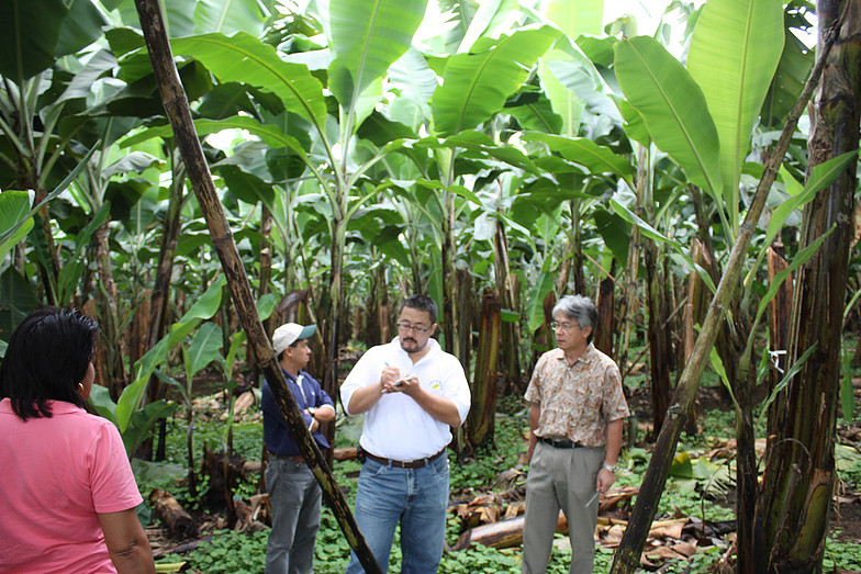 The plantations have over 800,000 banana trees on 2,700 rai of land