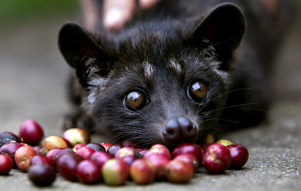 Civets are small, nocturnal mammals, native to tropical Asia and AfricaIndonesia. The Luwak coffee is known as the most expensive coffee in the world because of the way the beans are processed and the limited supply. The Luwak is an Asian palm civet, which looks like a cross between a cat and a ferret. The civet climbs the coffee trees to find the best berries, eats them, and eventually the coffee beans come out in its stools as a complete bean. Coffee farmers then harvest the civet droppings and take the beans to a processing plant. Luwak coffee is produced mainly on the islands of Sumatra, Java, Bali and Sulawesi in the Indonesian Archipelago, and also in the Philippines.