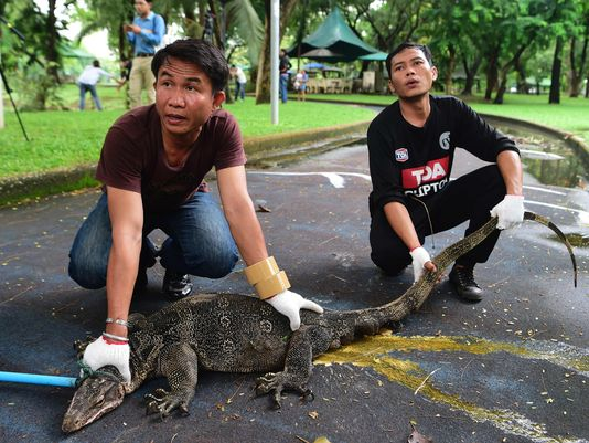 Park officials hold a monitor lizard after caught with a lasso in Lumpini park in Bangkok on Sept. 20, 2016.(Photo: Munir Uz Zaman
