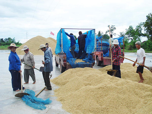 prices of jasmine paddy from the 2016/17 crop fell by as much as 1,000 baht a tonne in a week