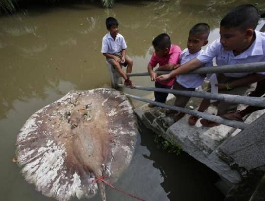 Students look at a dead stingray floating in front of Wat Khu Thamsathit in Khlong Bangkantaek, which is linked to the Mae Klong River