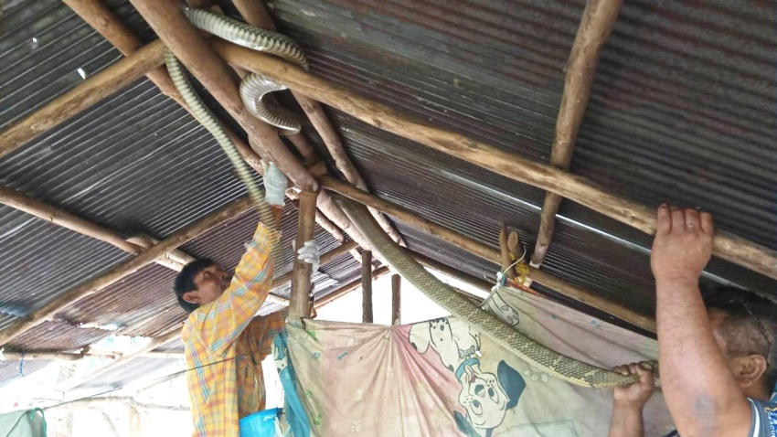 Man makes eye contact with 5-meter King Cobra in bed