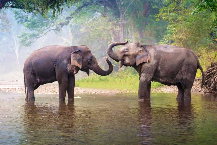 elephants, thailand, wildlife
