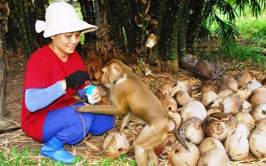 Thailand's Coconut-Picking Monkeys